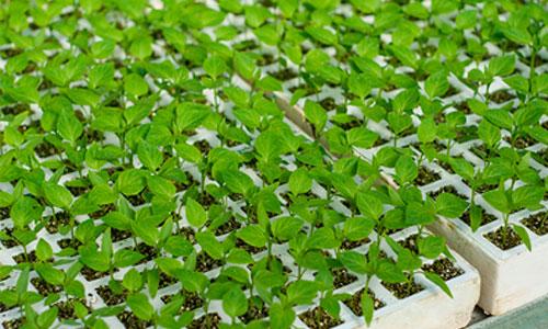 Semilleros alm cigos para cultivos en hidroponia aislantes for Que es la asociacion de cultivos